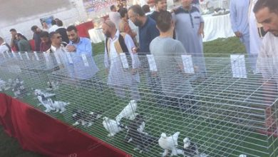 Photo of Union for the upbringing of pigeons in Misrata