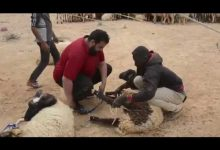 Photo of Sheep shearing season in Libya