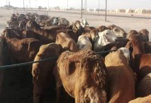 Photo of The Agricultural Police seizes smuggled sheep