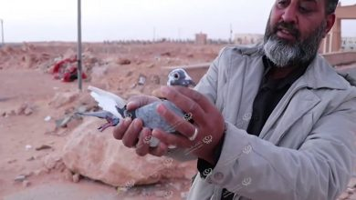 Photo of Third season of pigeon racing Ghadames-Ajdabiya
